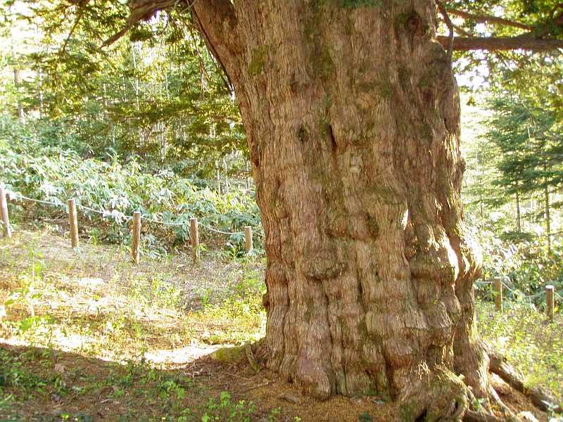 黄金山 イチイの巨木・巨樹 歴史を感じます。