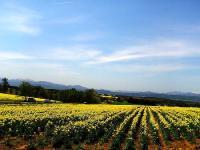 滝川市 菜の花畑