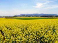 滝川市 菜の花畑と樺戸の山