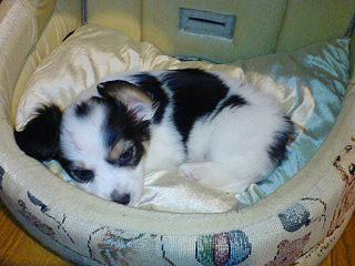 ダックス-チョコタン-犬-パピヨン-パピックス-小犬