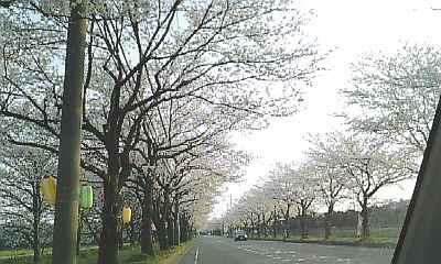 sakura-st.jpg