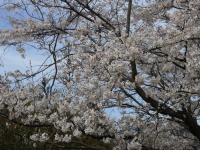 桜階段の桜