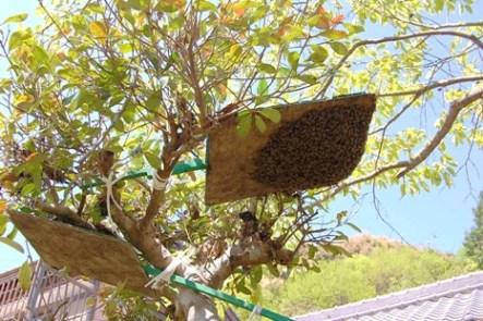 日本ミツバチ分蜂