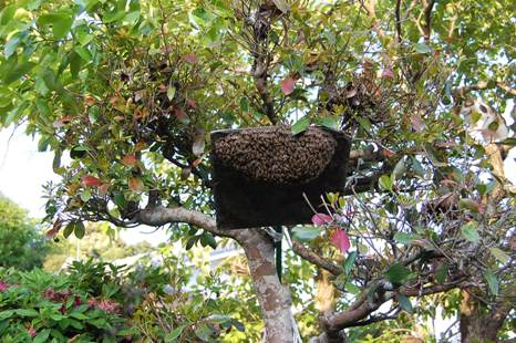 分蜂群(和蜂)