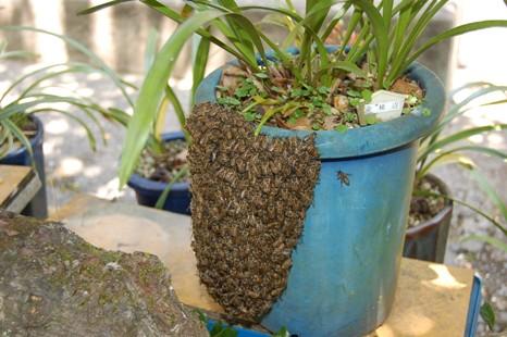 菌綾辺に群がった分蜂群