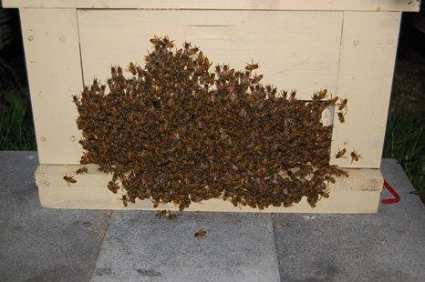 夜の西洋蜜蜂