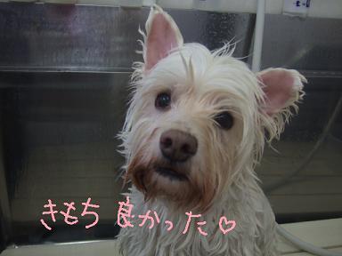 2009.06.08  ウェスティークッキーちゃん②