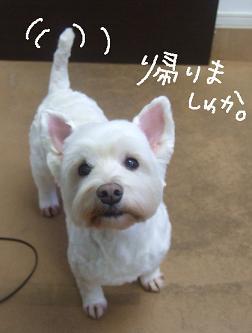 2009.06.08  ウェスティークッキーちゃん④