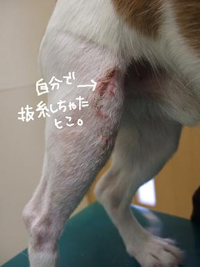 2009.01.28  小太郎抜糸まで⑧