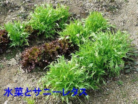 yasai_20090217_1