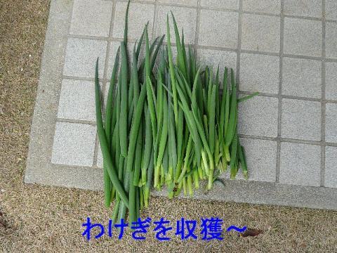 yasai_20090307_1