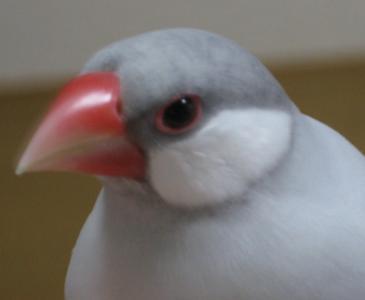 文鳥ちゃん(しるば)