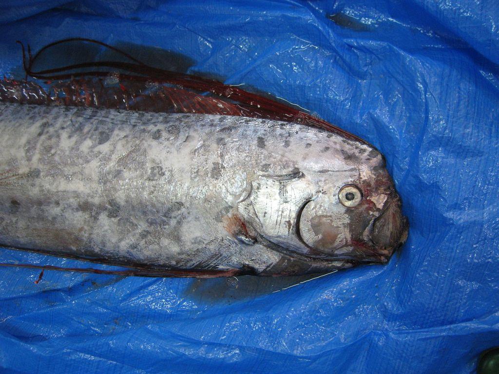 リュウグウノツカイ , 魚ノ道