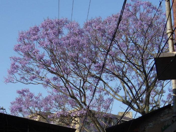 010泉州中山南路紫の花
