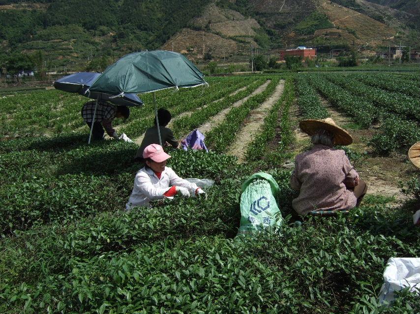 294茶摘