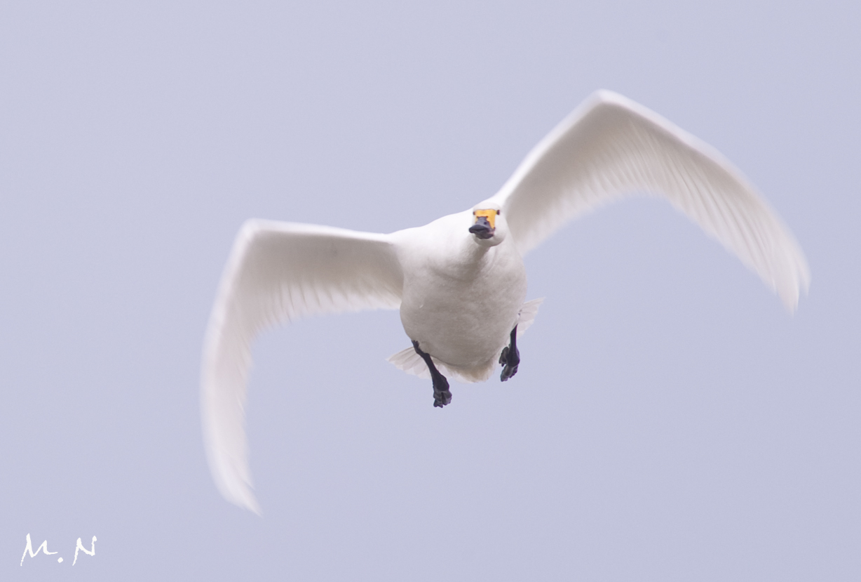 whistling swan_002