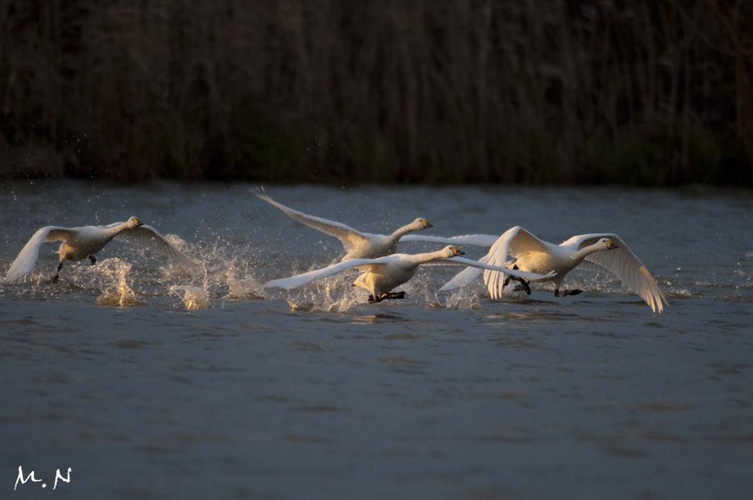 whistling swan_003