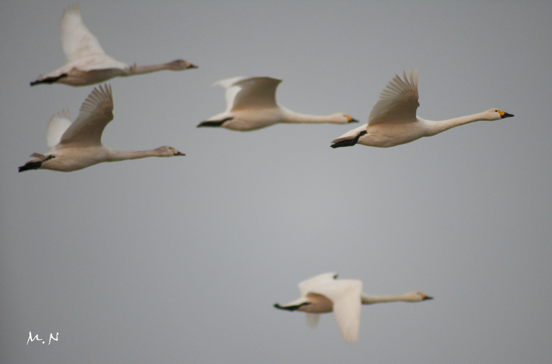 whistling swan_005