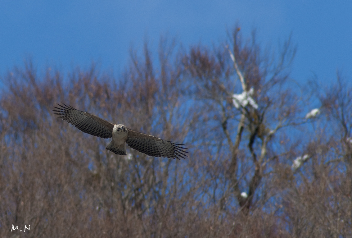 Mountain Hawk Eagle_008