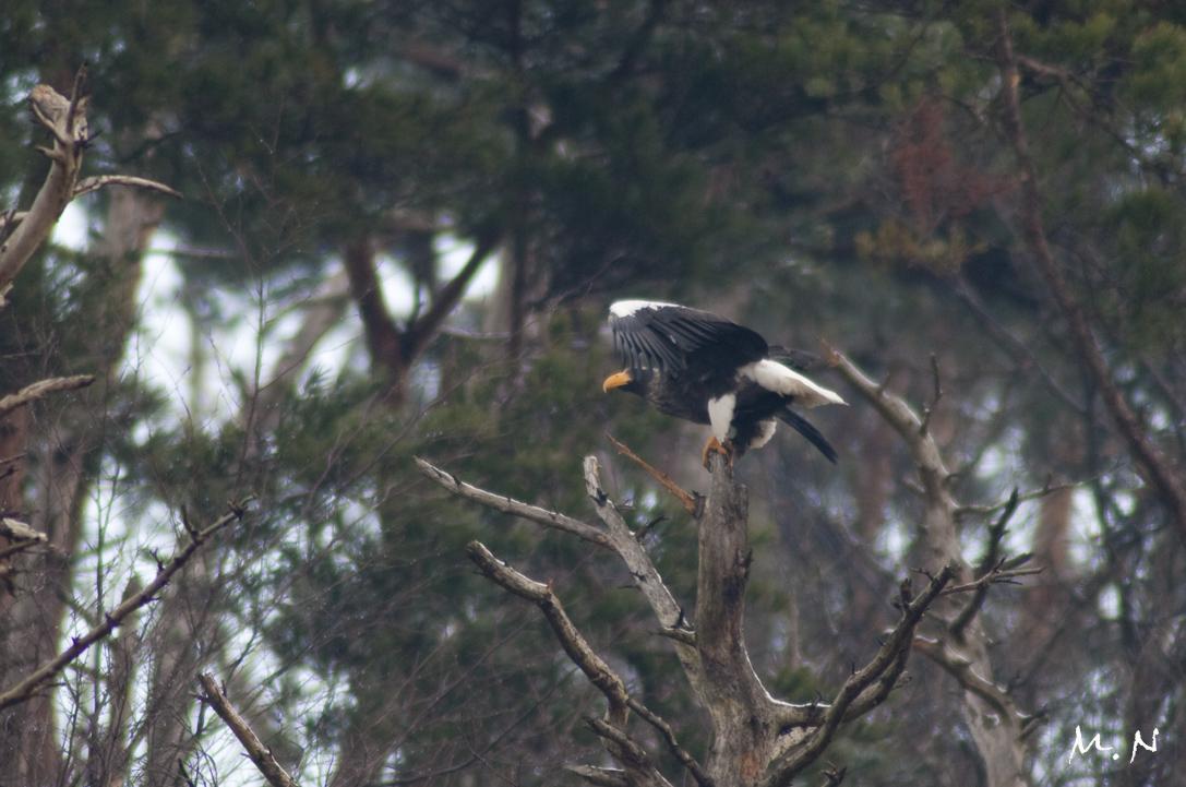 Steller's sea-eagle_002.jpg