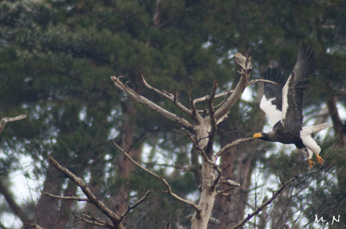 Steller's sea-eagle_004