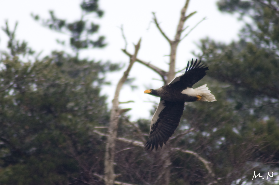 Steller's sea-eagle_005