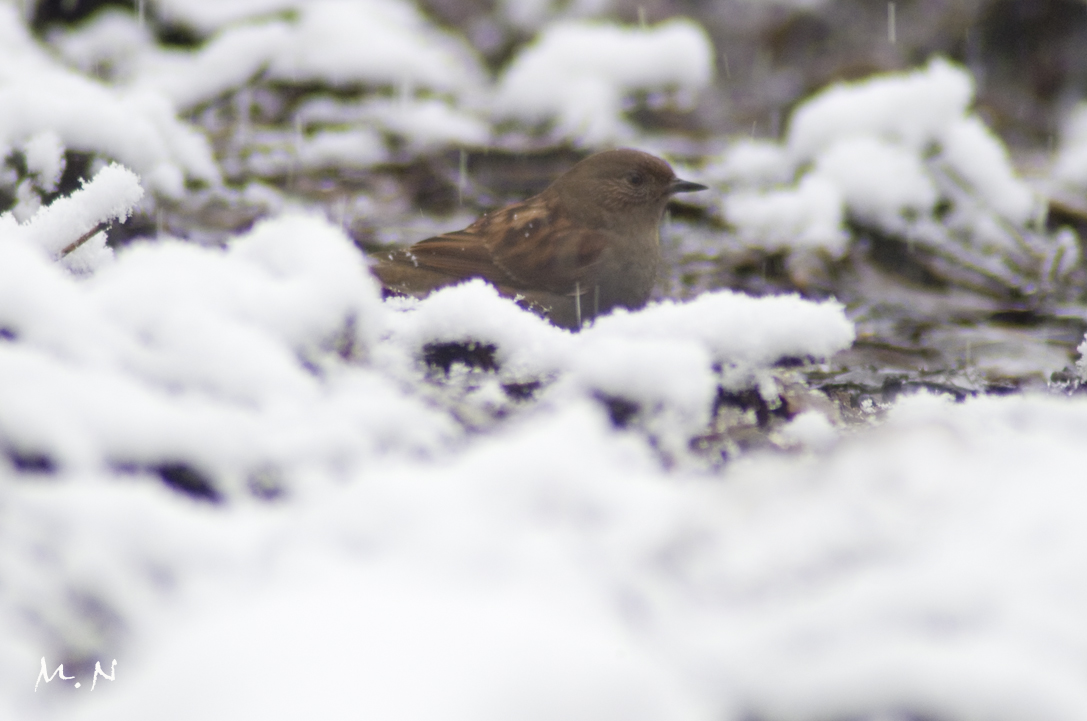 Japanese accentor_001