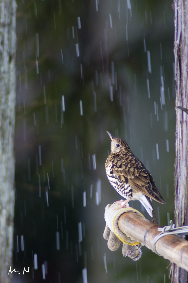 white's ground thrush_001