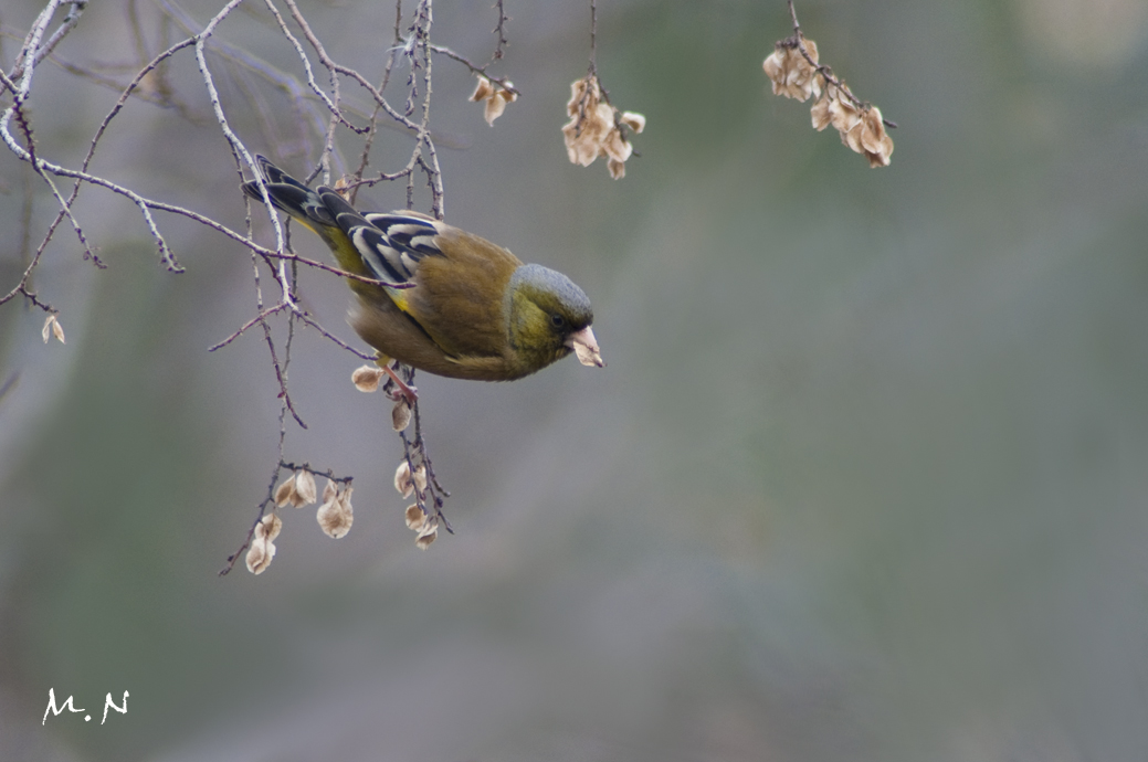 Oriental Greenfinch_002