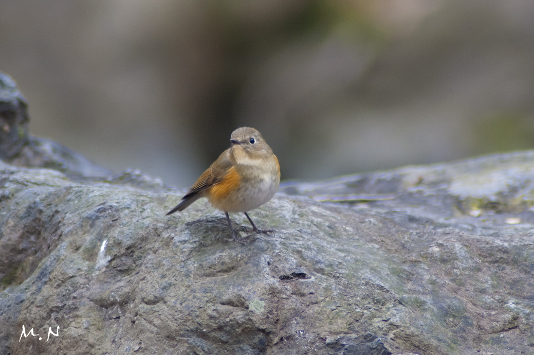 Red-flanked Bluetail _001