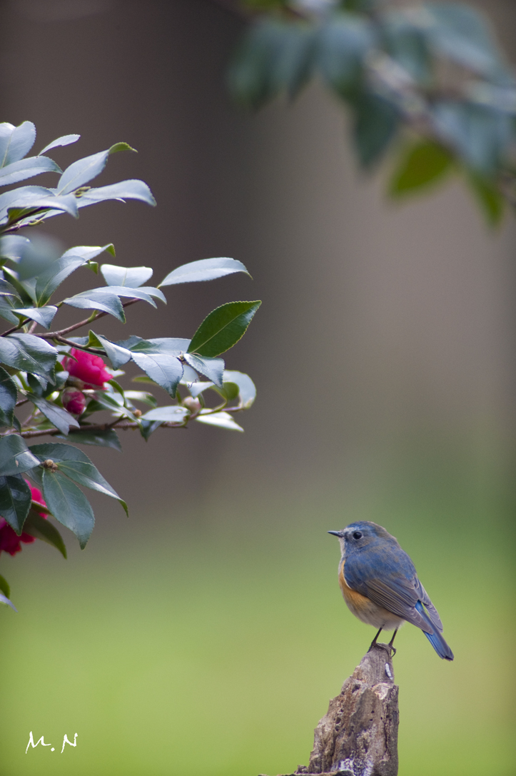 Red-flanked Bluetail _002