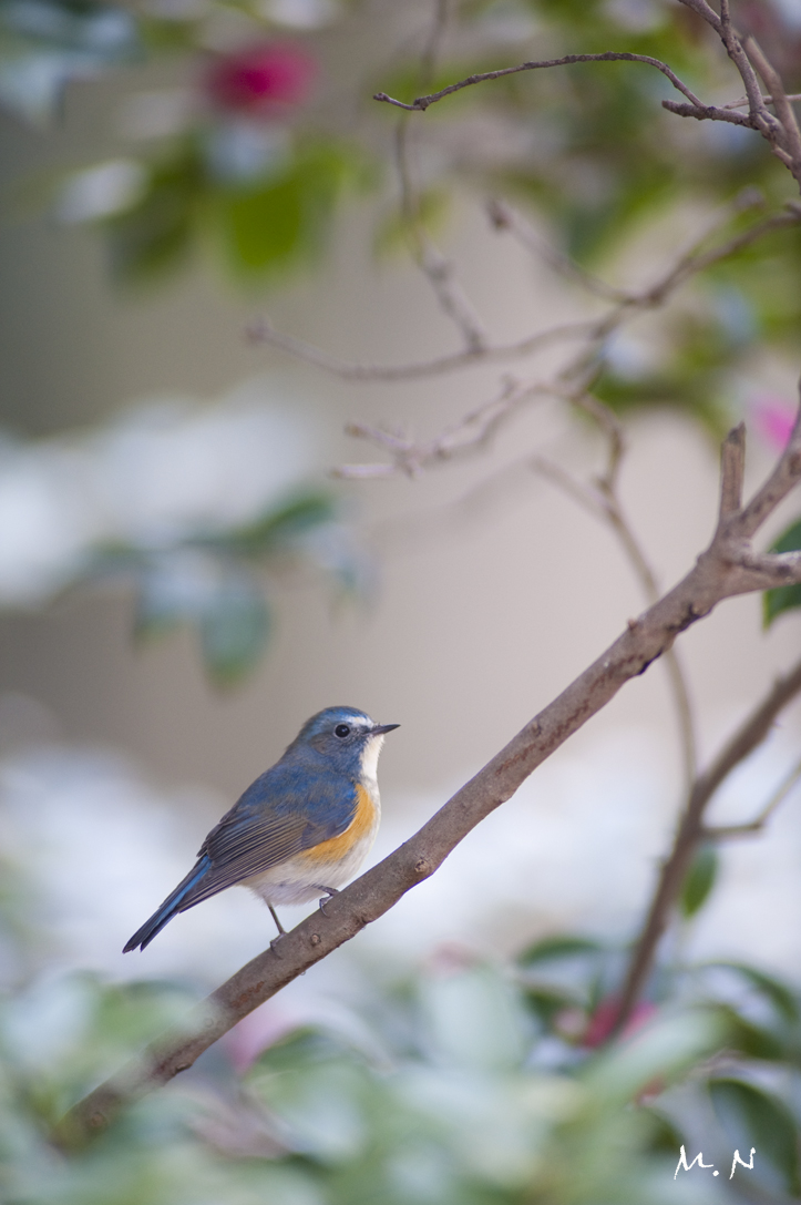 Red-flanked Bluetail _005