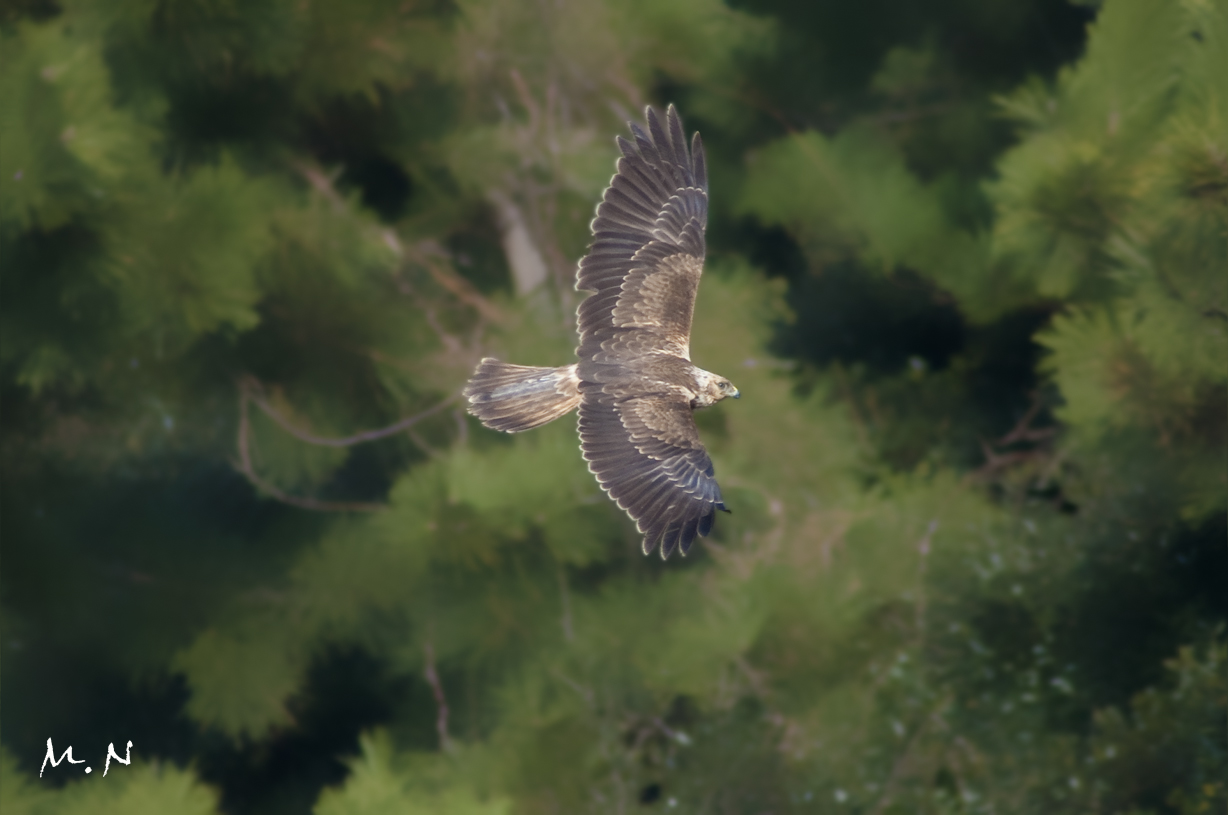 marsh harrier _001