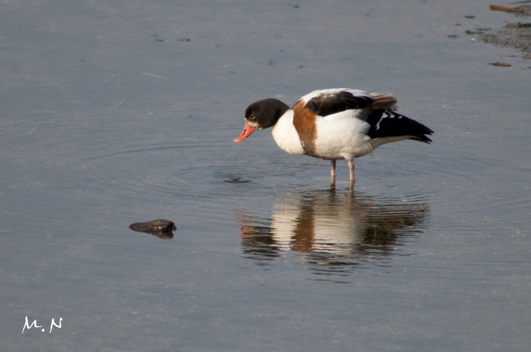 Common Shelduck_002
