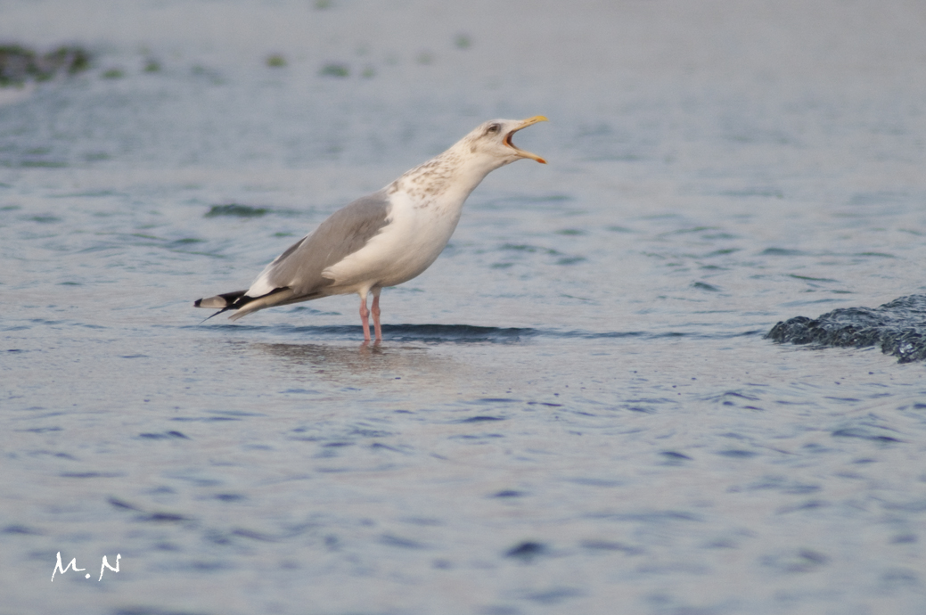 herring gull _003