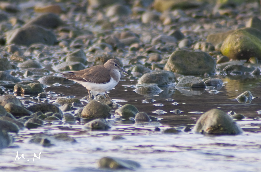 common sandpiper_001