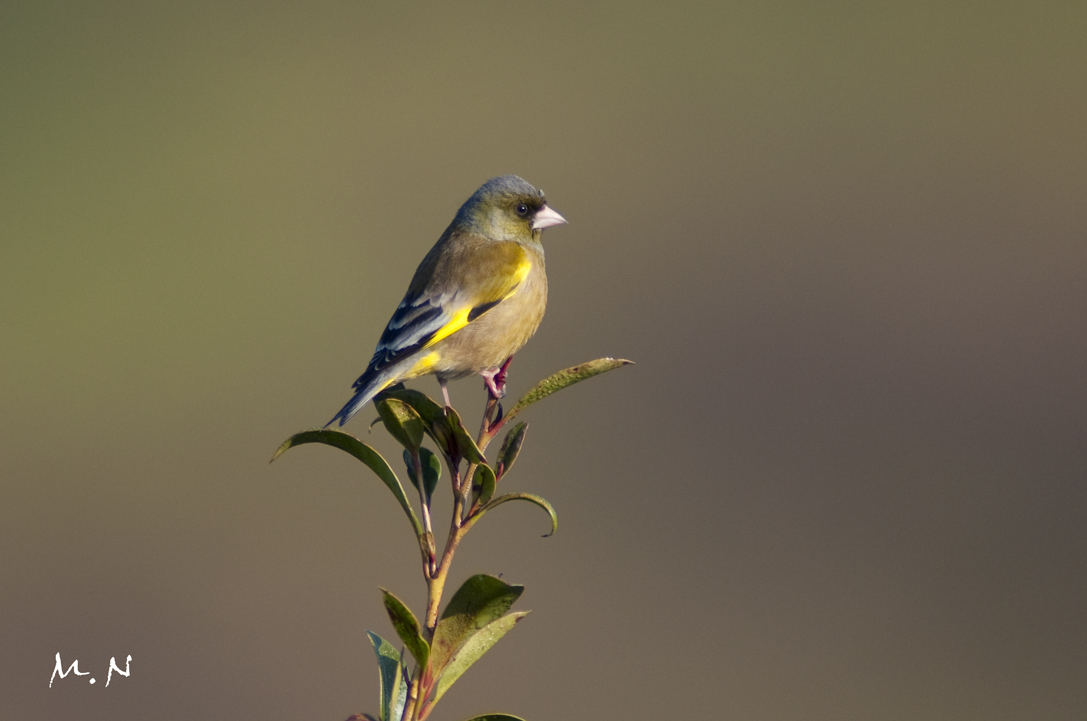 Oriental Greenfinch_001