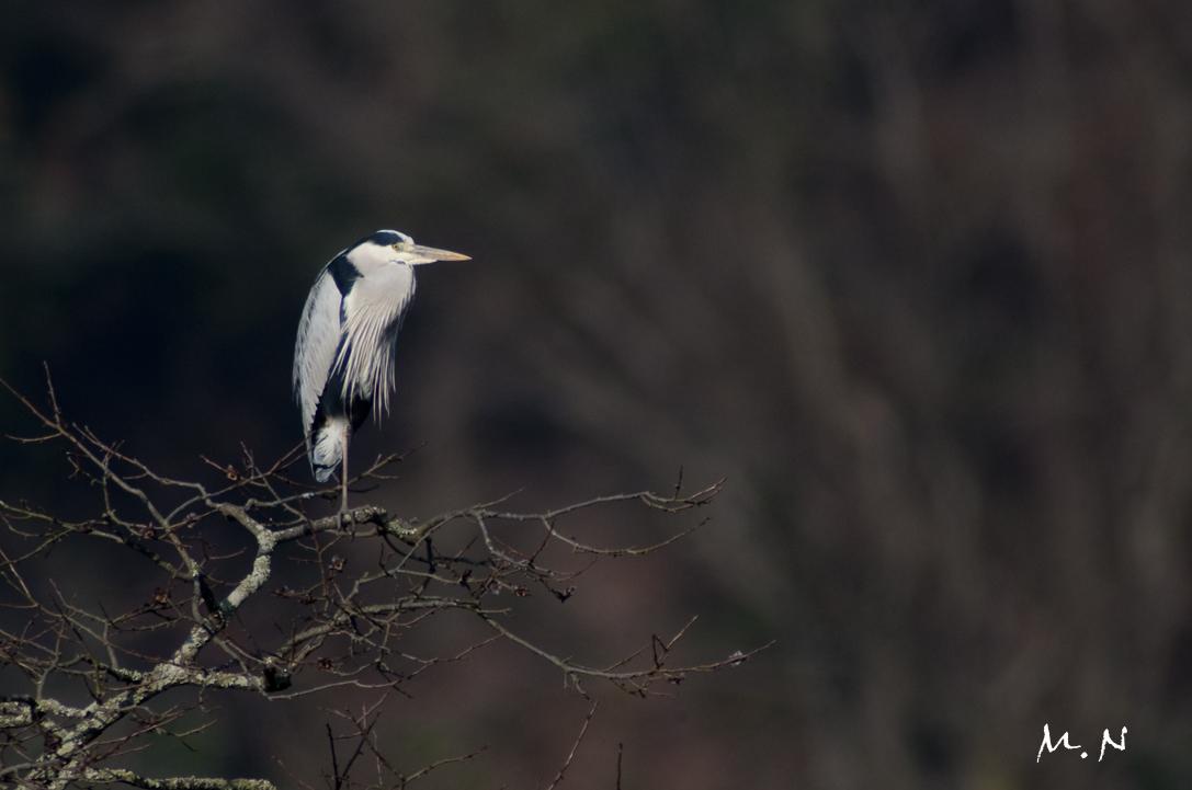 grey heron_001