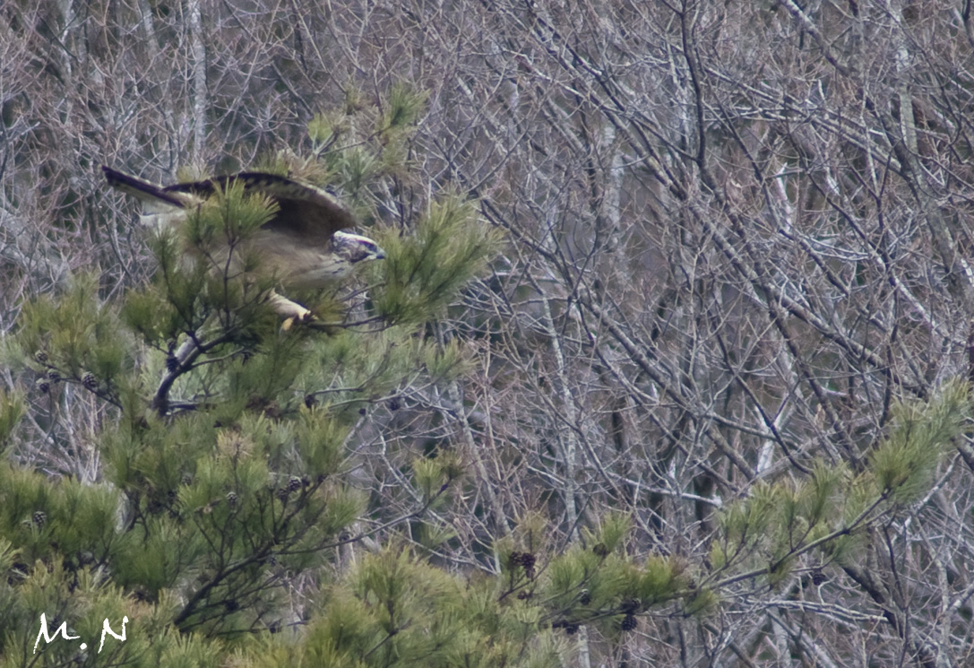 Mountain Hawk Eagle_002
