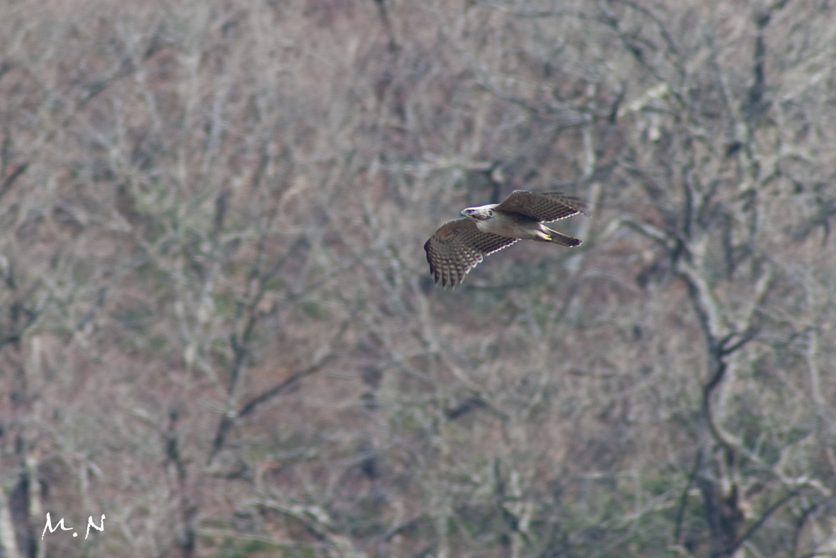 Mountain Hawk Eagle_005