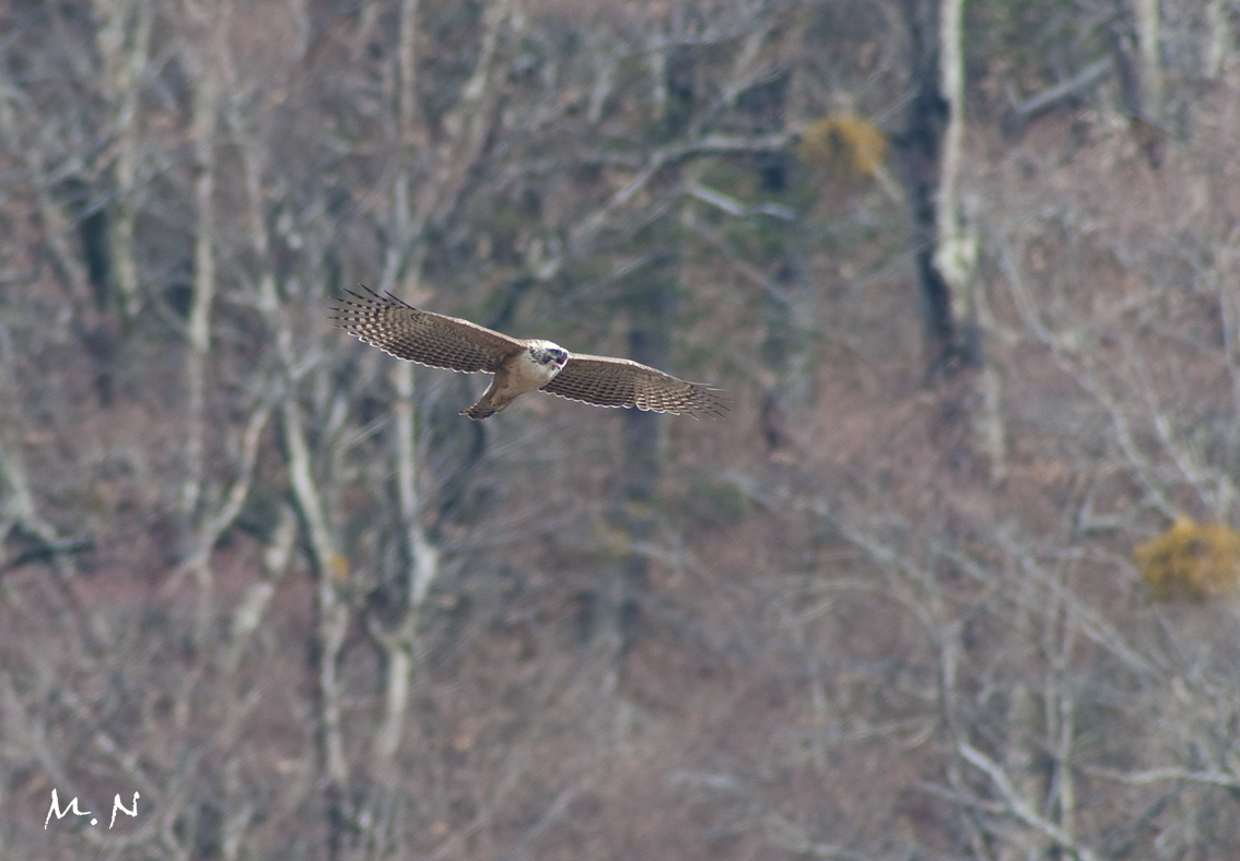 Mountain Hawk Eagle_006