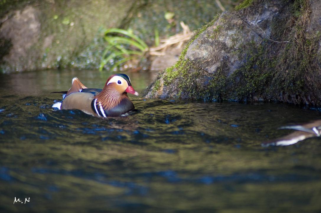 Mandarin Duck_001