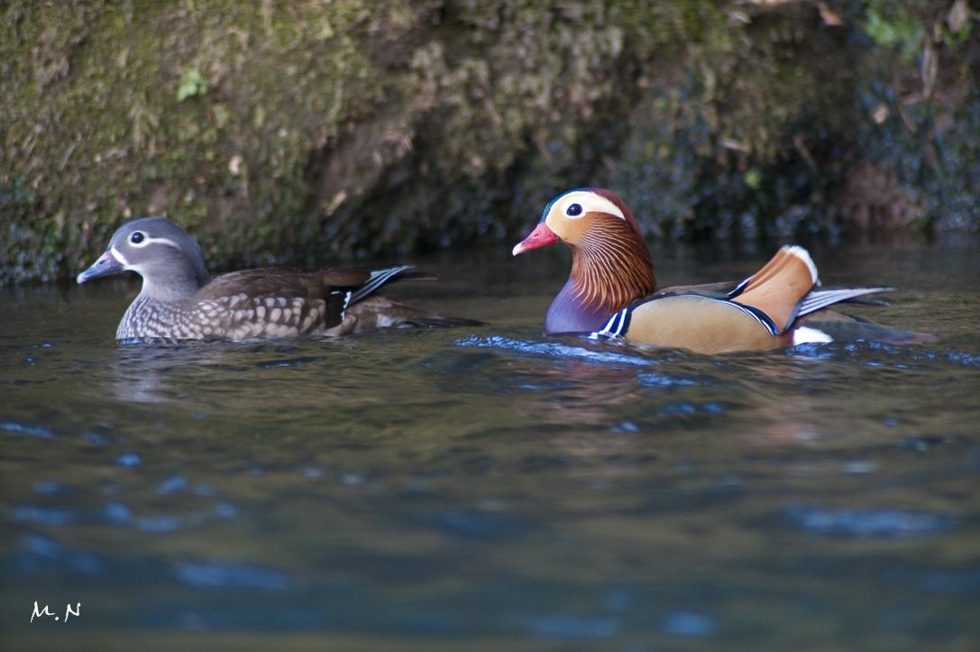 Mandarin Duck_002