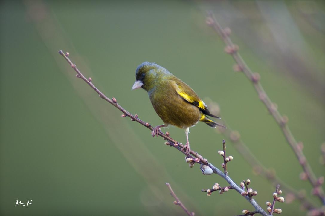 Oriental Greenfinch_002