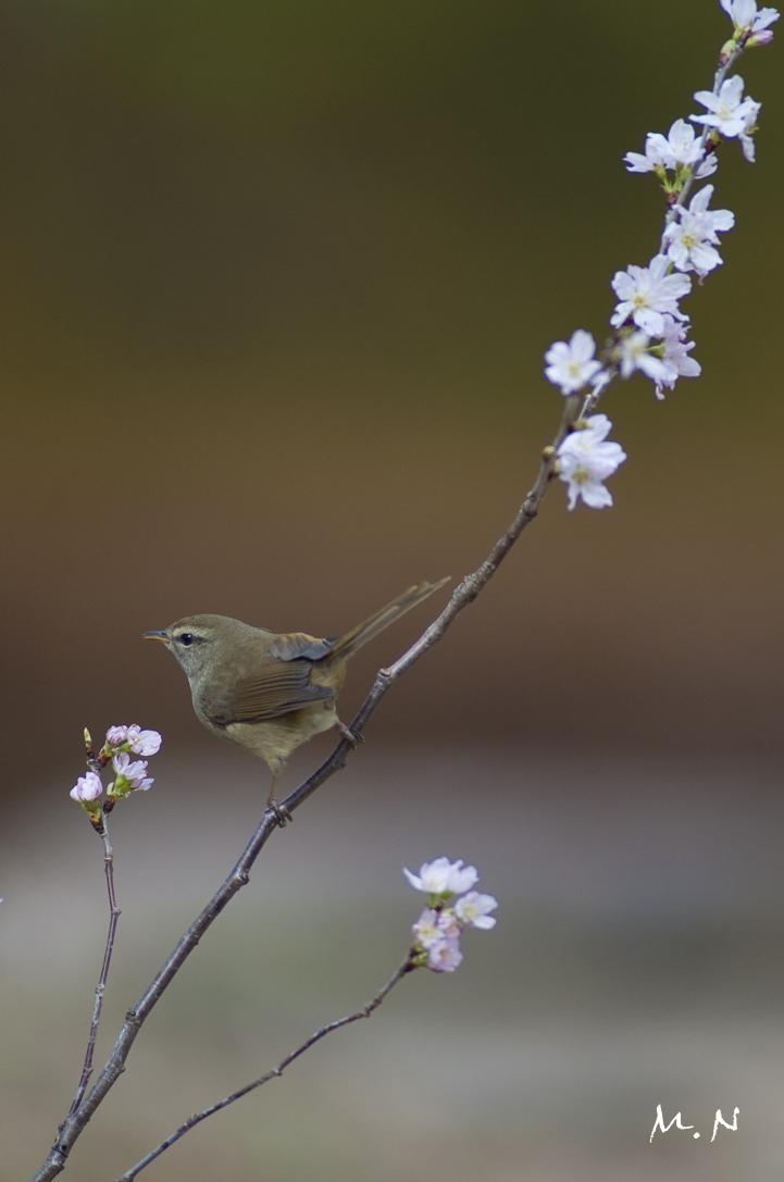 bush warbler_01