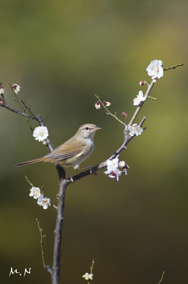 bush warbler_02