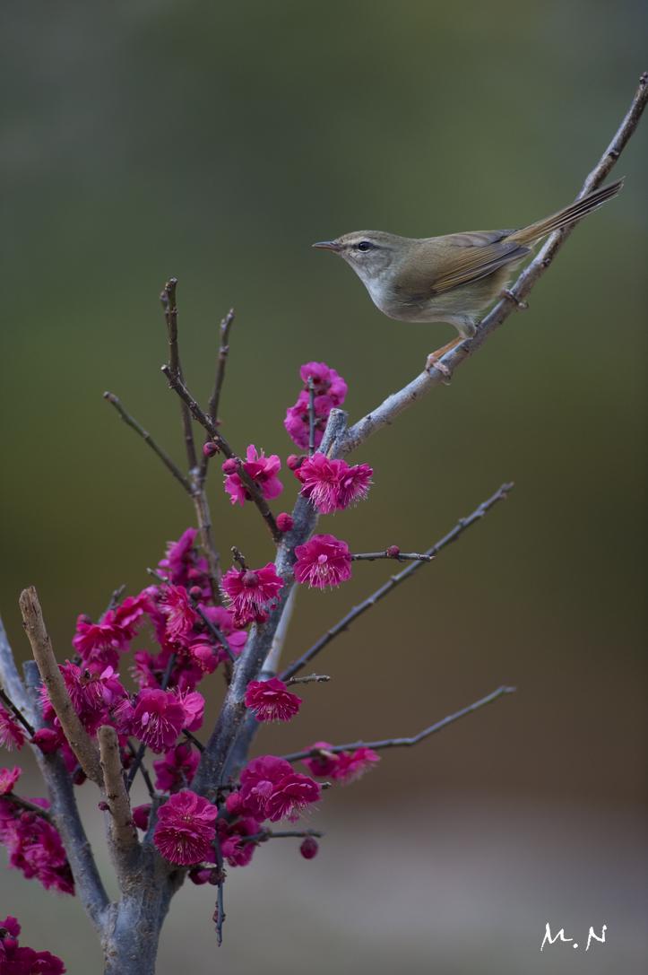 bush warbler_03