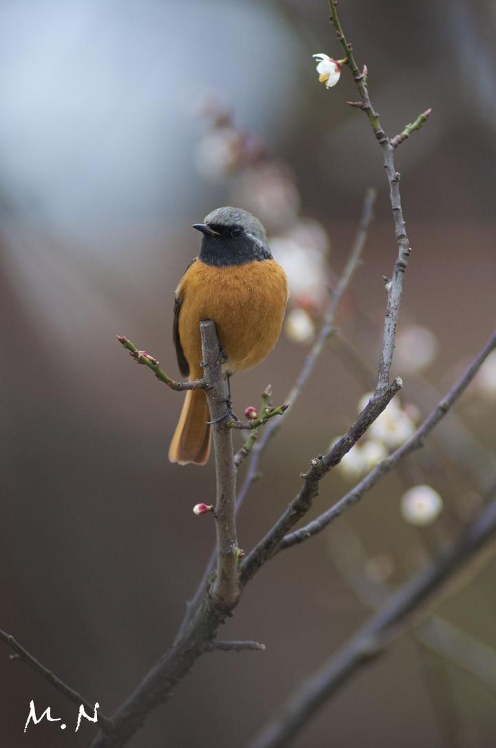 9719_Daurian Redstart