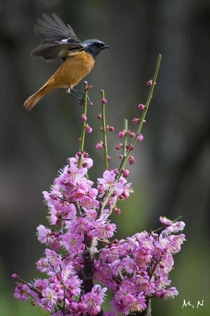 9851_Daurian Redstart