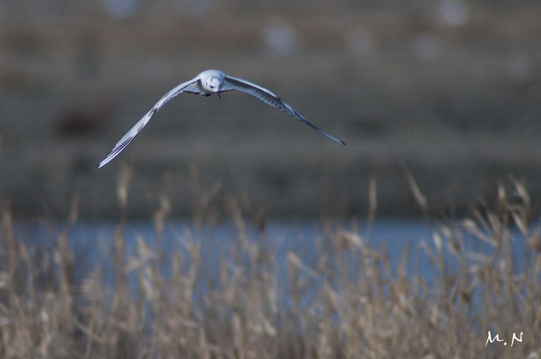 0074_saunders's gull